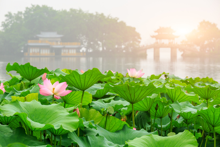 Hangzhou west lake Lotus in full bloom in a misty morning