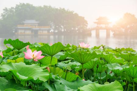 Hangzhou West Lake Lotus in volle bloei in een mistige ochtend