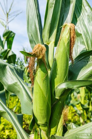 Corn plants were grown in the field of rural farmland Stock Photo