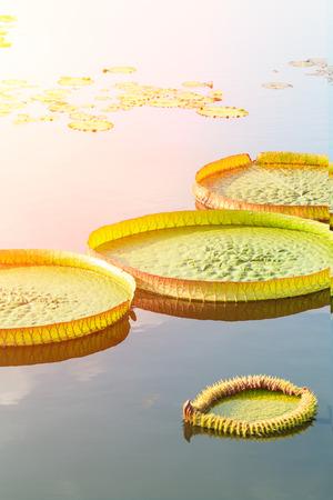 nelumbo nucifera: Victoria lotus or King lotus leaves grow in the pond