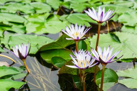 Belle Waterlily pourpre, plantes aquatiques poussent dans l'étang