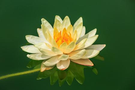 nenuphar: Beautiful yellow Waterlily,aquatic plants grow in the pond