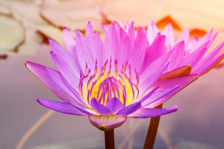 nenuphar: Beautiful purple Waterlily,aquatic plants grow in the pond
