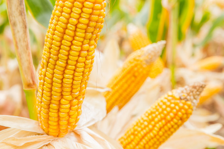 ripe corn in the field of farmland wait for harvest Stock Photo