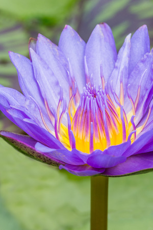 nenuphar: Water lily grows in the pond