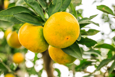 campesino: Fresh oranges grow on the tree,in fruit plantations