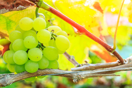 Vineyard ripe white grapes in autumn harvest season Stock Photo