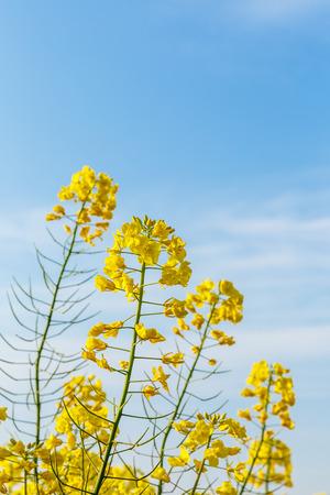 canola: rape flower in the spring