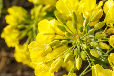 rape flower in the spring