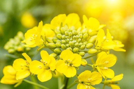 rape flower in the spring