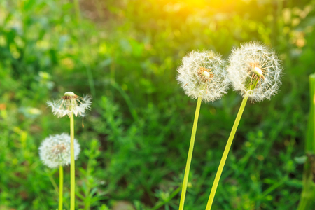 background pattern: Spring flowers beautiful dandelions in green grass