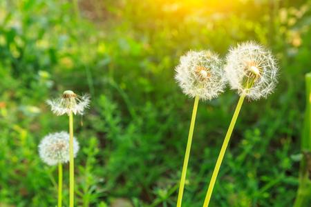Spring flowers beautiful dandelions in green grass