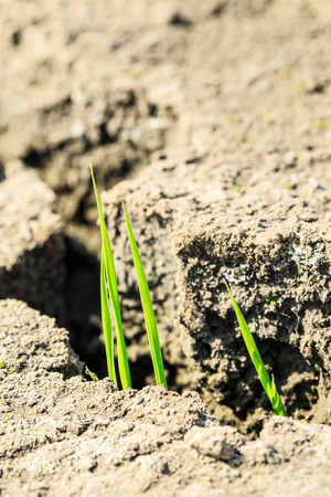 Green grass sprout grow on dry land,concept background Stock Photo