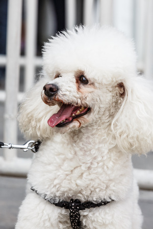 Happy white poodle dog in outdoors Stock Photo