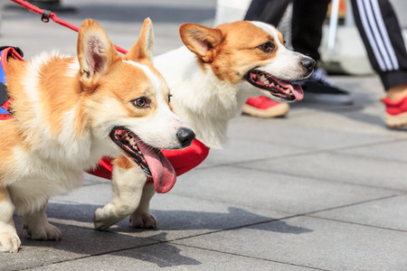 running nose: corgi dog made faces with their tongue