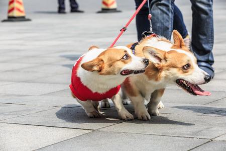corgi dog made faces with their tongue