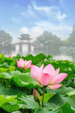 Loto en el lago occidental de Hangzhou, China Foto de archivo - 78585545