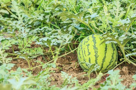 melon field: watermelon field in the summer