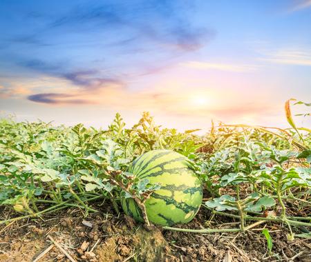 melon field: Watermelon field landscape at sunset Stock Photo