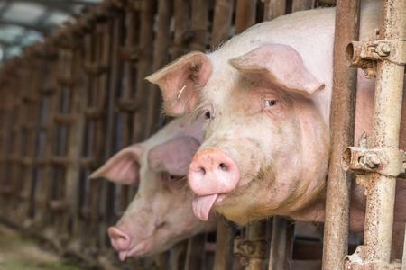 siembra: Cerdo, campo, granja Foto de archivo