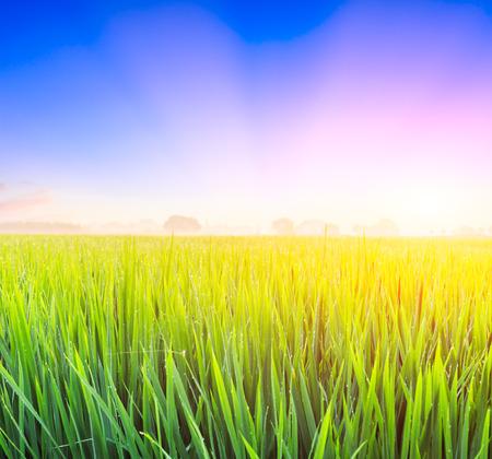 緑の水田、夕暮れ時の自然の風景