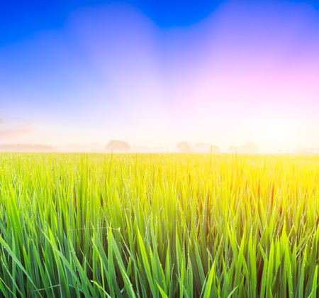 Green rice field, natural landscape at sunset