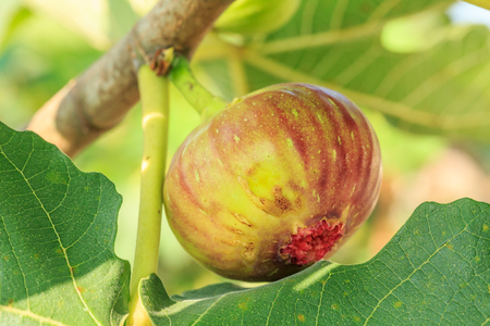 fresh figs ripening on a fig tree