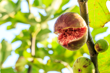 fresh figs ripening on a fig tree,fruit cracked