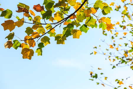 Colorful autumn leaves in the forest,liriodendron tree
