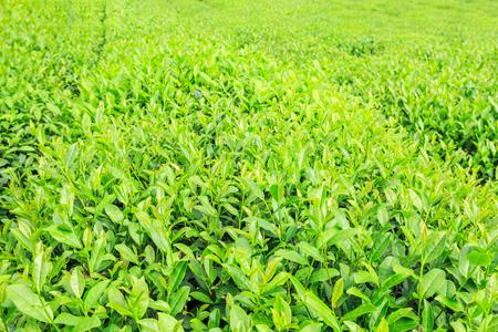 tea plantation green leaves in spring