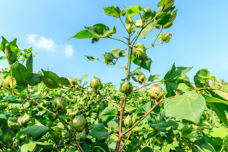 Green cotton plant in farmland field Banque d'images