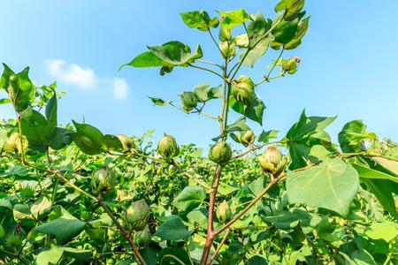 Green cotton plant in farmland field Foto de archivo