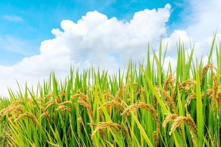 yellow ripe rice fields in the autumn season