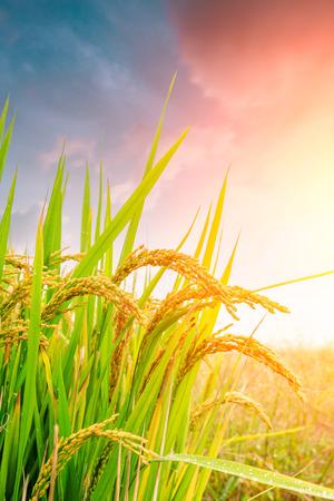 gele rijpe rijstvelden in het herfstseizoen Stockfoto