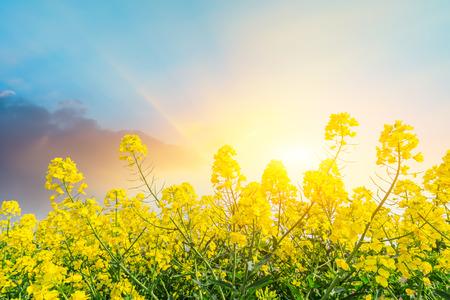 Flowering rape flowers on a spring field