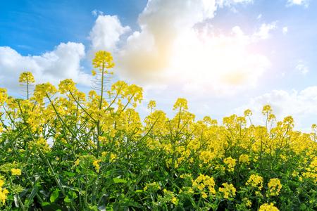 schöne gelbe Rapsblumen auf einem Hintergrund des blauen Himmels