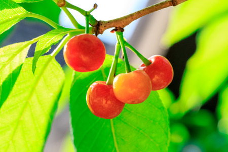 Cherry tree with ripe cherries Stock Photo