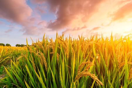 Rijpe rijstveld en hemelachtergrond bij zonsondergang met zonnestralen Stockfoto