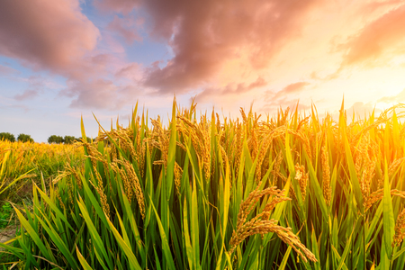 Ripe rice field and sky background at sunset time with sun rays Stock Photo