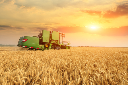 Combine harvester harvesting yellow wheat at sunset