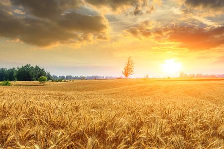 Krajobraz zachodu słońca na polu pszenicy