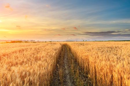 Polna droga i żółte pola pszenicy o zachodzie słońca