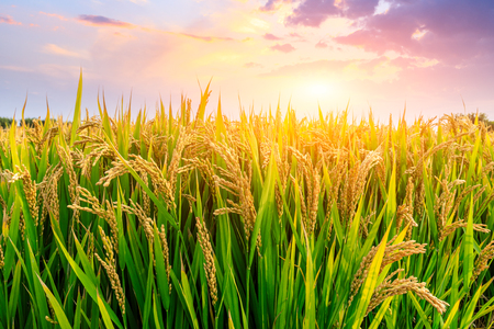 Ripe rice field and sky background at sunset time with sun rays Banco de Imagens