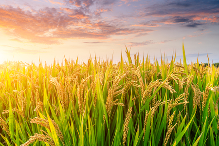 Ripe rice field and sky background at sunset time with sun rays Standard-Bild