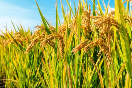 Ripe rice field and sky landscape