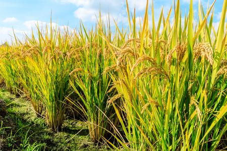 Campo di riso maturo e paesaggio del cielo Archivio Fotografico