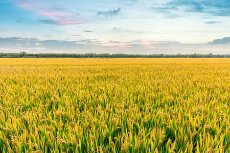 Reifes Reisfeld und Himmelshintergrund bei Sonnenuntergang mit Sonnenstrahlen