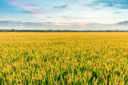 Ripe rice field and sky background at sunset time with sun rays Stockfoto
