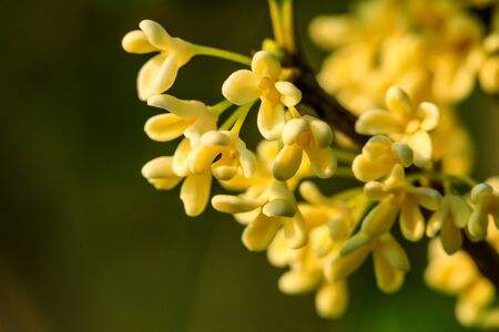 Yellow osmanthus blooming in the garden