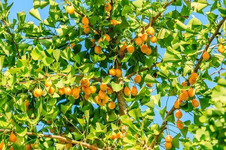 Hojas y frutos del árbol de ginkgo en otoño.